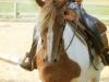 Westernpferd